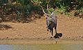 Nyala Bull (Tragelaphus angasii) (6581240141).jpg