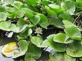 Nymphaea alba, J. Garmendia 3089.JPG