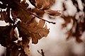 Oak Leaves (11283593655).jpg