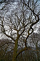 Oak at Stapleford Tawney, Essex, England 2.jpg