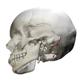 Occipitomastoid suture - skull - lateral view02.png