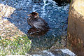 Oiled diving duck 2.jpg