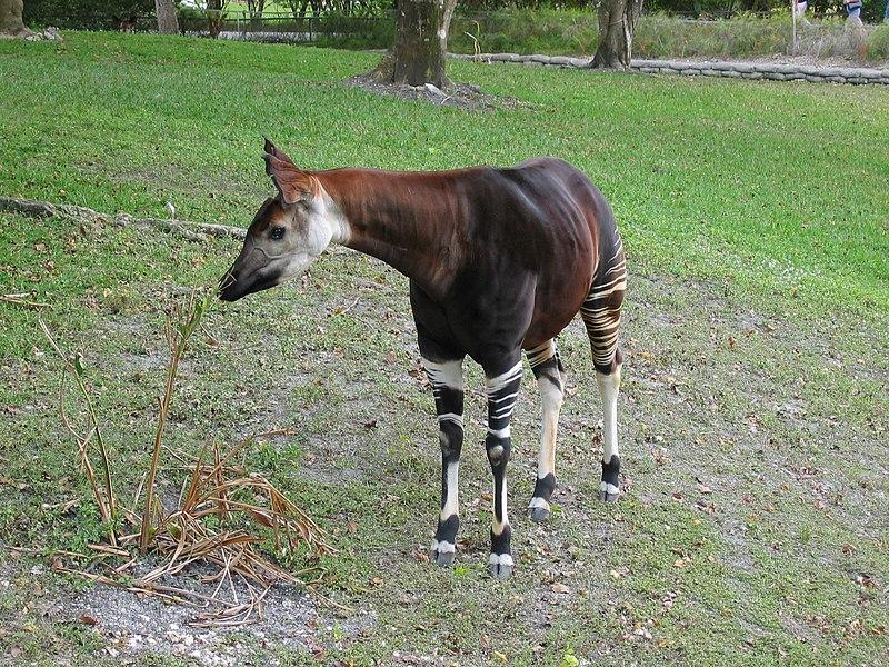 Ficheiro:Okapi, miami.jpg