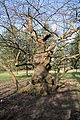 Old tree in Ickworth Park - geograph.org.uk - 1221212.jpg