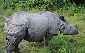 Subspecies - The Indian rhinoceros (Rhinoceros unicornis) is a monotypic species.