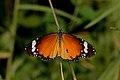 Open wing Basking posture of Danaus chrysippus (Linnaeus, 1758) – Plain Tiger WLB DSC 6379.jpg