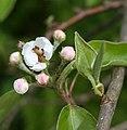 Opening pear flower.jpg