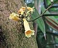 Ophiocolea floribunda -倫敦植物園 Kew Gardens, London- (9216068990).jpg