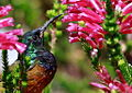 Orange-breasted Sunbird, Anthobaphes violacea (8419589242).jpg