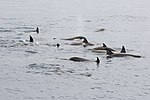 Orca Pod Gerlache Channel Antarctica 3 (46422081865).jpg