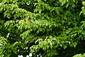 Orchard oriole (19568863998).jpg