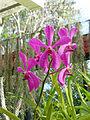 Orchidées-Jardin botanique de Peradeniya-Sri Lanka (11).jpg
