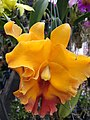 Orchid from Thailand 7.jpg
