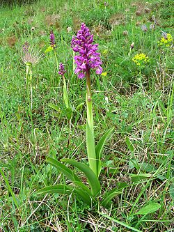 Orchis mascula Saarland 03.jpg