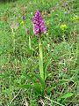 Orchis mascula Saarland 03.jpg