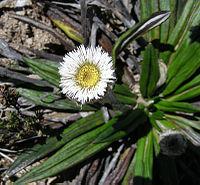 Oritrophium peruvianum (9229732577).jpg