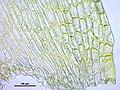 Orthotrichum affine (a, 144726-481017) 0932.JPG