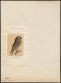 Otus brachyotus - 1700-1880 - Print - Iconographia Zoologica - Special Collections University of Amsterdam - UBA01 IZ18400207.tif