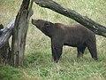 Ours brun (Ursus arctos) (2).jpg
