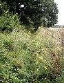 Overgrown footpath - geograph.org.uk - 525341.jpg