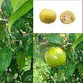 Owoce Eugenia stipitata.jpg