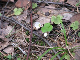 Plant litter - Common wood sorrel (Oxalis acetosella) in Ivanovo Oblast, Russia