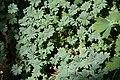 Oxalis adenophylla 1zz.jpg