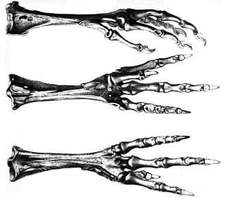 Dodo - 1848 lithograph of the Oxford specimen's foot, which has been sampled for genetic studies