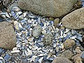 Oystercatcher's Nest^ - geograph.org.uk - 1392496.jpg