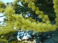 P1120486 Flor de mimosa en Tarrío, Culleredo.JPG