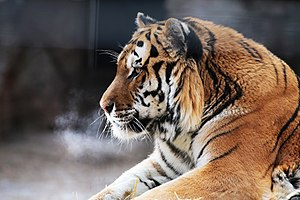 Potter Park Zoo - Amur (Siberian) tiger at  Potter Park Zoo