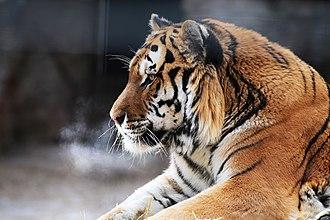 Potter Park Zoo - Amur (Siberian) tiger at  Potter Park Zoo