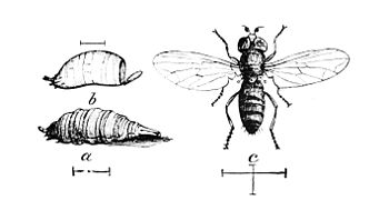 PSM V05 D175 Root louse syrphus fly.jpg