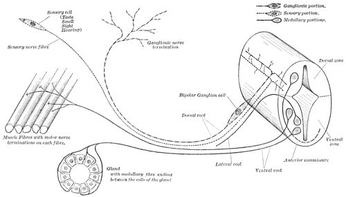 PSM V43 D391 Diagram of the origin and termination of nerve fibres.jpg