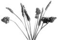 PSM V55 D390 Malformed heads of plantago lanceolata.png