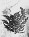 PSM V60 D213 Frond of desmarestia ligulata herbacea.png