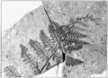 PSM V73 D124 Fossil fern phegopteris guyottii.png