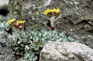 <i>Packera franciscana</i> species of plant
