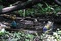 Painted Bunting, Worm-eating Warbler, Tennessee Warbler & Indigo Bunting (bathing) Boy Scout Woods High Island TX 2018-04-11 12-39-57 (26932492977).jpg