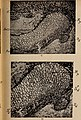 Paléontologie végétale cryptogames cellulaires et cryptogames vasculaires (1914) (14760468441).jpg