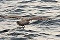 Pale Herring Gull, 4 miles offshore of Bridgman, MI, 5 September 2015 (21037850060).jpg