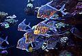 Palma Aquarium - Pez pámpano índico.jpg