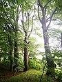 Památné stromoví Bransoudov 12.jpg