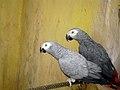 Papageien طوطی 01.jpg