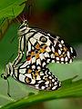 Papilio demoleus by kadavoor.JPG