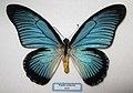 Papilio zalmoxis.JPG