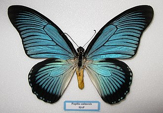 Papilio zalmoxis - Blue sheen - mounted specimen