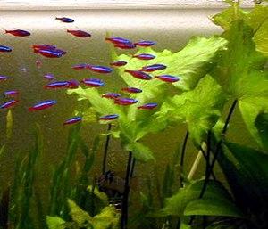 Cardinal tetra - A shoal of cardinal tetras in an aquarium