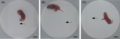 Parasite160015-fig3 - Bowel movements of suckling mice.png
