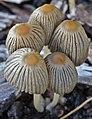 Parasola schroeteri (P. Karst.) Redhead, Vilgalys & Hopple 339977.jpg